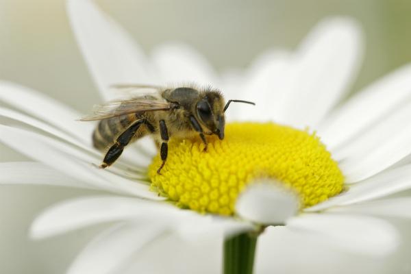 Elektrosmog stört die Sinne von Bienen