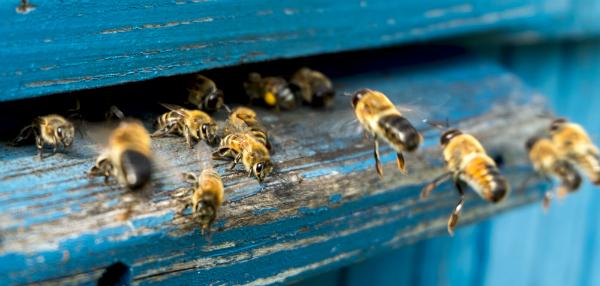 Der innere Kompass der Bienen wird durch die Einwirkung von Elektrosmog gestört