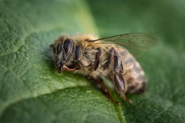 tote-biene-colony-collapse-disorder-5g-und-das-insektensterben