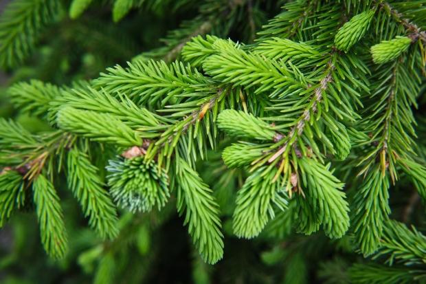 Nadeln eines Baumes, Nahaufname - Baumschäden durch Mobilfunk sind möglich